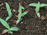 芝生の主な雑草 メヒシバ