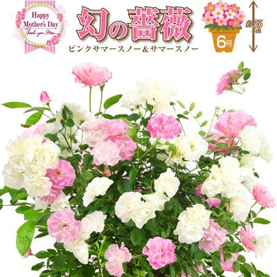 桑野さんの幻のバラ ピンクサマースノー&サマースノー