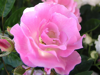 かわいらしい花が長く楽しめます。