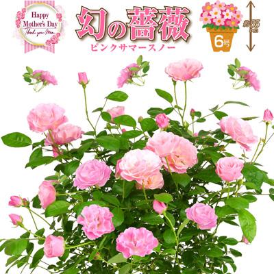桑野さんの幻のバラ ピンクサマースノー